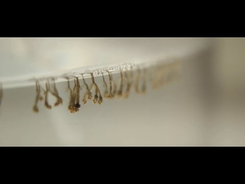 Bacillus Thuringiensis  Israelensis