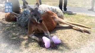 神戸市の動物園で飼育されているアカカンガルーの「豆蔵」。枕を抱えて...