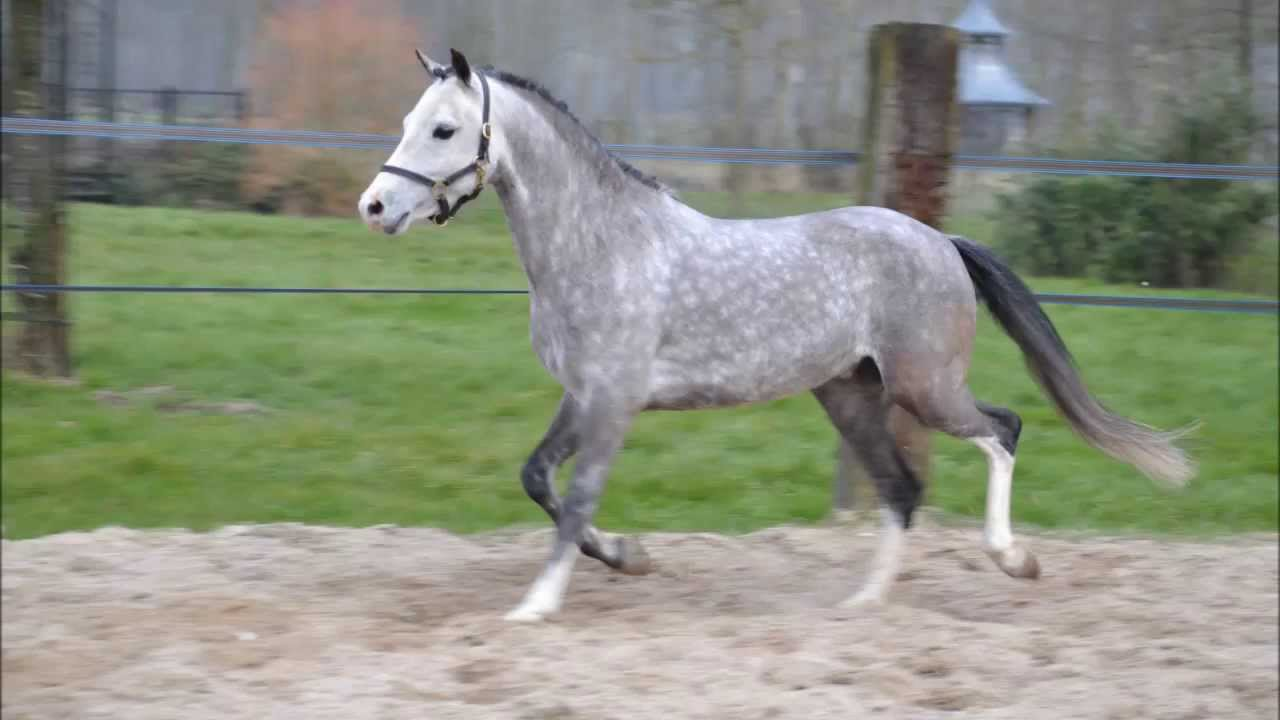 poney welsh b
