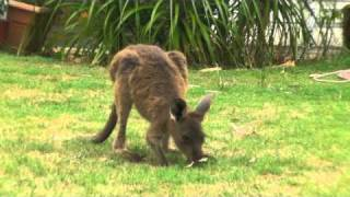 Frank the Super Cute Baby Joey Kangaroo