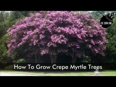 growing and caring for crepe myrtle trees
