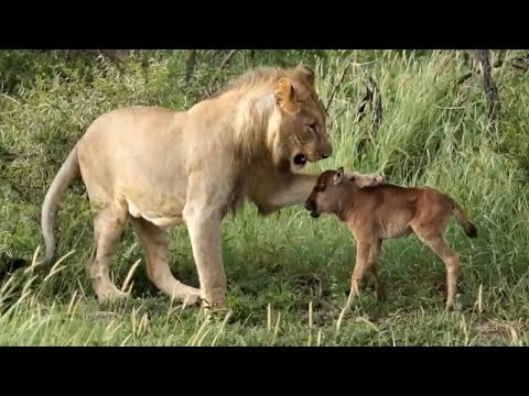 Amazing Baby Wildebeest Treats Lioness Like Mom and The Unexpected – Lion Hunting