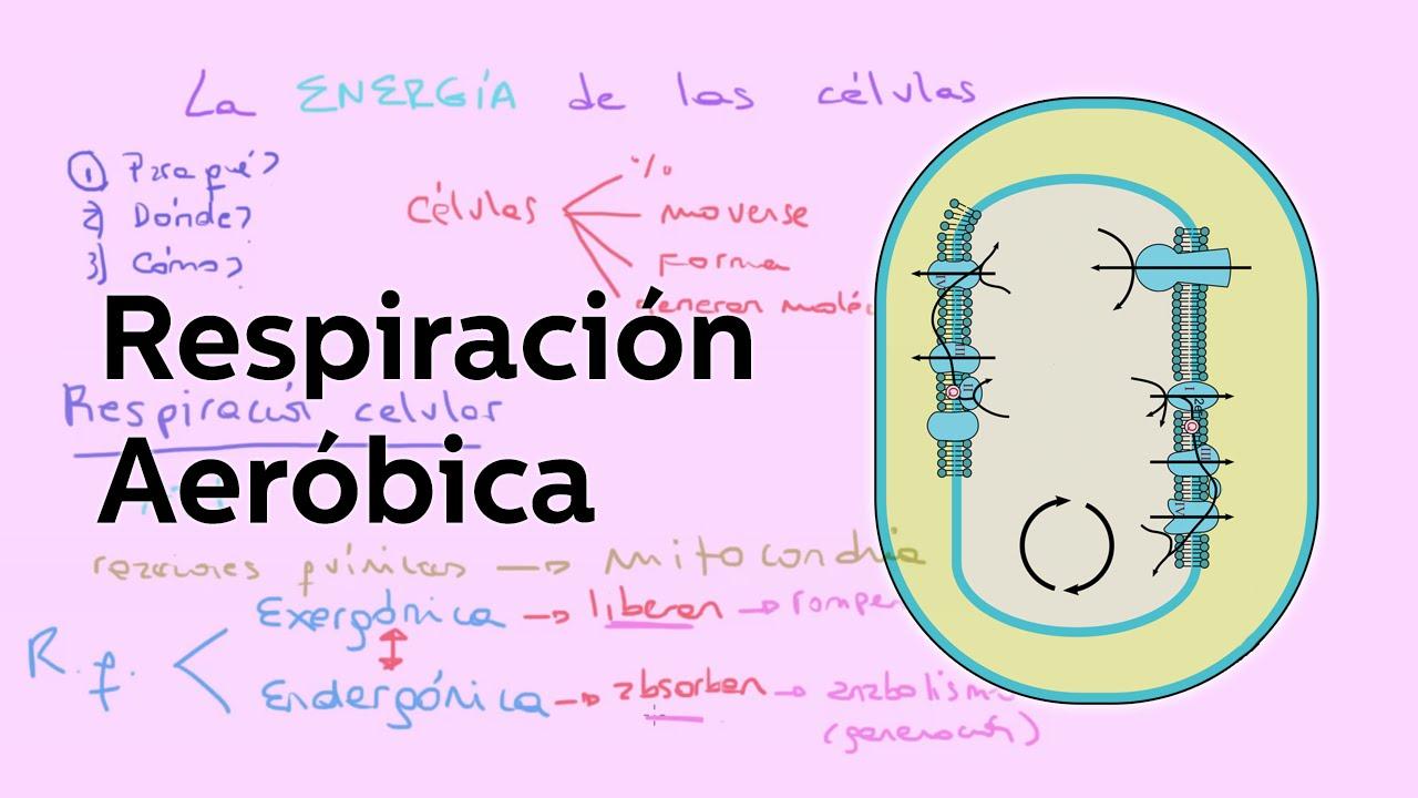 La respiracin celular aerbica y generacin de ATP  Biologa