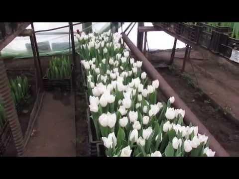 Выгонка тюльпанов к 14 февраля и 8 марта.