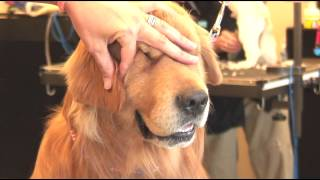 How to Trim the Hair Around a Shaggy-Haired Dog's Ears : Dog Grooming