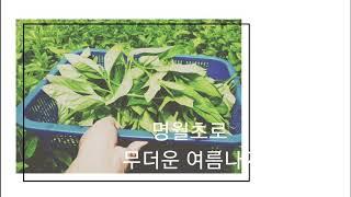 고혈압 당뇨에 명월초(당뇨초) - 큰집농장