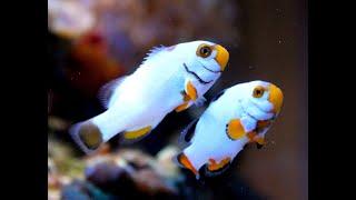 САМЫЕ КРАСИВЫЕ РЫБКИ В МИРЕ(САМЫЕ КРАСИВЫЕ РЫБЫ В МИРЕ. Какая рыба самая красивая? В мире большое разнообразие красивых рыбок, сложно..., 2015-05-26T13:48:10.000Z)
