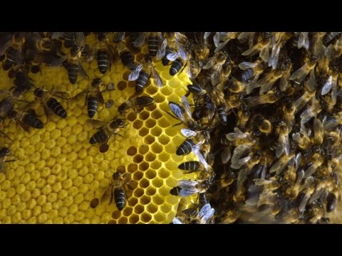 Risking life for honey - Forces of Nature with Brian Cox: Episode 1 - BBC One