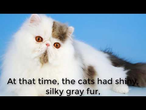 Persian Cat Behavior | Don't Miss The Video.