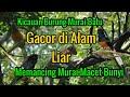Kicauan Burung Murai Batu Gacor Di Alam Liar Memancing Murai Macet Bunyi  Mp3 - Mp4 Download