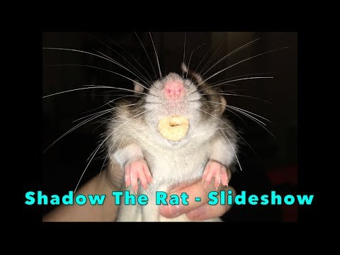 Shadow The Rat Memo - Picture Slideshow