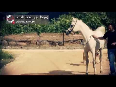 by: star 2000 tv الخيول العربية الأصيلة في الجولان