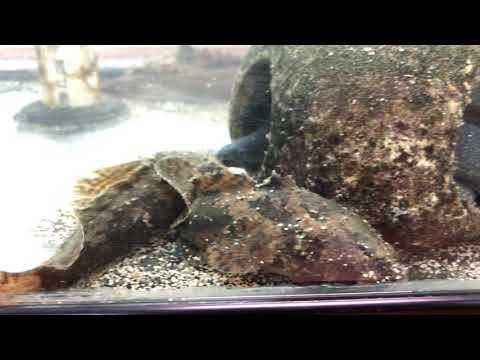 Freshwater Stonefish / Freshwater Lion Fish - Batrachomoeus Trispinosus