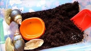 Размножение улиток ахатин. Что делать с яйцами???