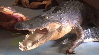 Cool Restaurants - Outback Crabshack where you eat gators and gators eat too.