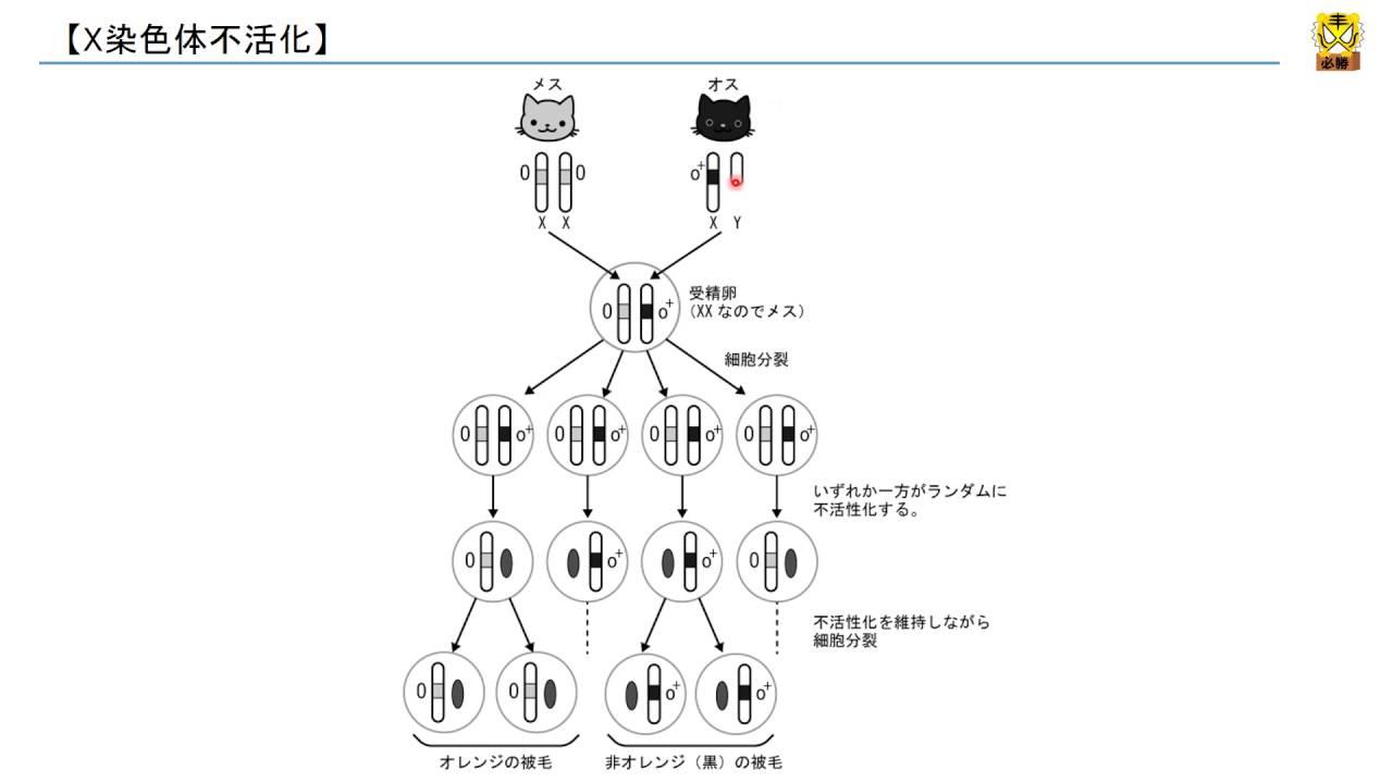 X染色体不活化 【高校生物】 - YouTube