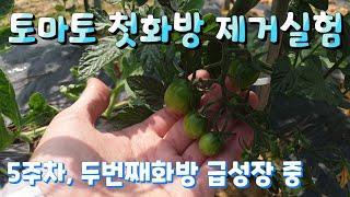 토마토 재배 첫화방 제거 실험 5주차