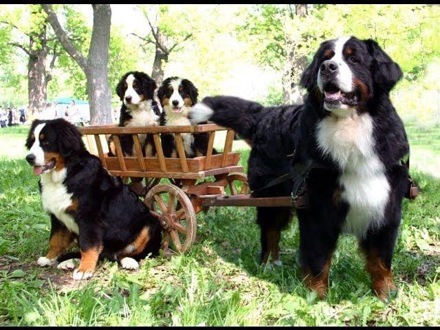 Бернский зенненхунд (Bernese Mountain Dog). Породы собак (Dog Breed)