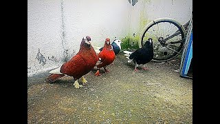 Kuş Pazarından Aldığım Güvercinler (Yeni Kuş Yakaladık) !!!