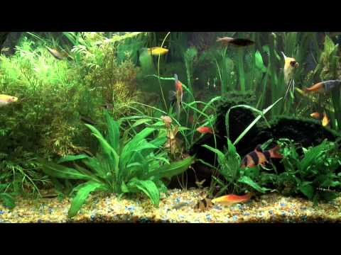Freshwater Fish Tank - Real Fresh Water Fish - Ambient DVD