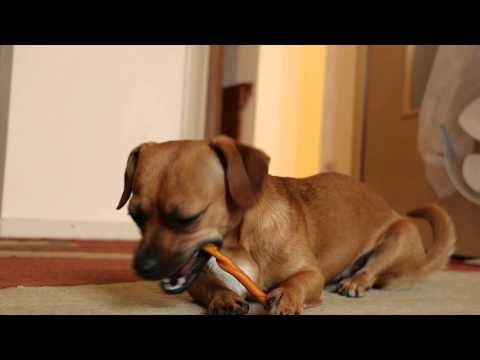 Tessie - Chihuahua cross breed, Canon 70D test video 1080p/30fps