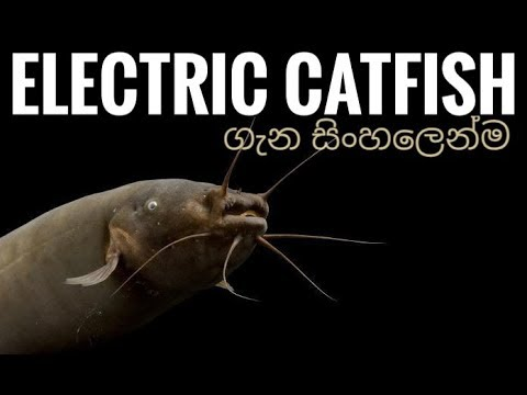 Basic Information About Electric Catfish (Malapteruridae Sp) And Care In Sinhala