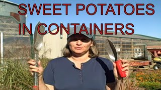 Surprise Harvest When Harvesting Sweet Potatoes in Containers