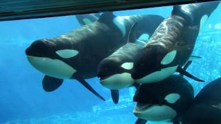 6 Killer Whales in Underwaterviewing Seaworld Orlando