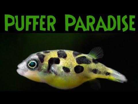 Dwarf Pea Puffer Paradise! - Freshwater Puffer Fish Feeding