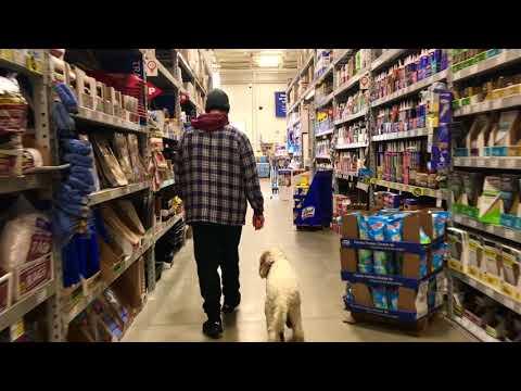 Bethlehem Dog Trainers: Off Leash K9 Training     7 month old Labradoodle, Bash