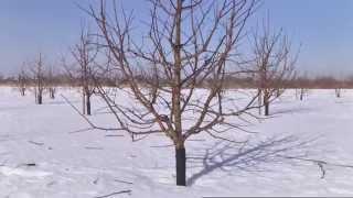 Обрезка яблони(, 2015-03-11T12:50:20.000Z)