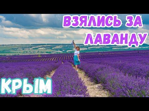 Вопрос: Как называются фиолетовые цветы, растущие в Крыму?