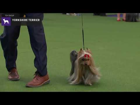 Yorkshire Terriers | Breed Judging 2020