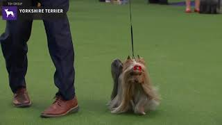 Yorkshire Terriers   Breed Judging 2020