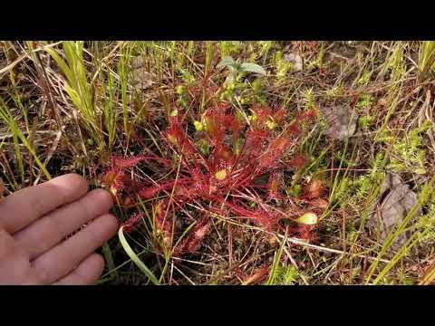 Хищное растение росянка. Два разных вида.