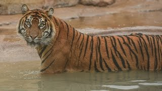 Sumatran tigers move into their new home at Chester Zoo