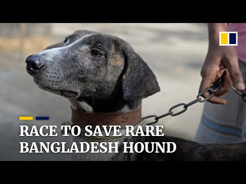 Race to save Bangladesh's rare Sarail hound from extinction