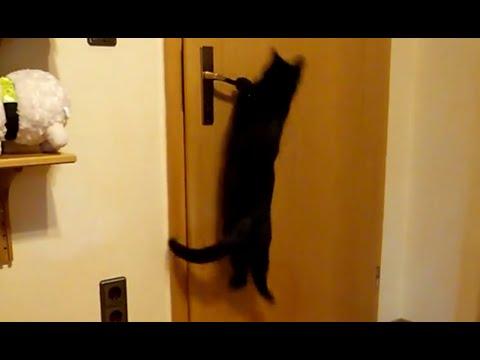 Smart Bombay Cat Knows to Open Door