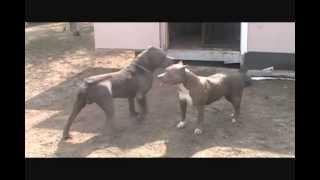 Bully XXL pitbull, BGK