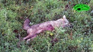Self Filmed Deer BowHunting Coyote Kill Shot 2 Lumenok Lighted Nock