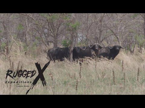 Cape Buffalo Battle