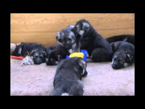 На сервисе объявлений olx. Ua киевская область легко и быстро можно купить щенка восточно-европейской овчарки. Заведи друга прямо сейчас!