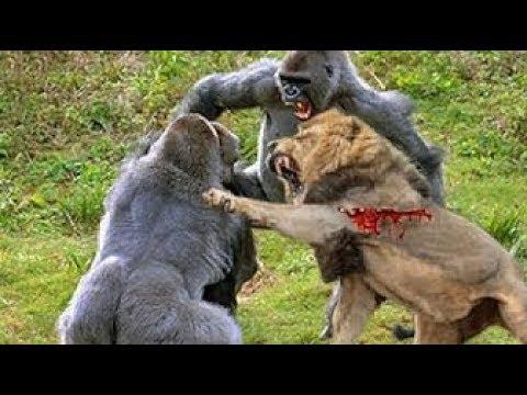 LIVE: Best Attacks Of Wild Animals 2017 - Top Craziest Wild Animal Fights Caught On Camera