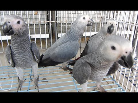 Congo African Grey Parrots Chicks Ko Batain Sikhana | Grey Parrot Ko Self Karne Ka Dana