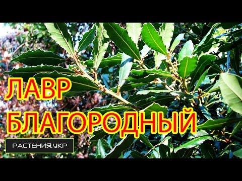 Лавровое дерево уход / Лавр благородный