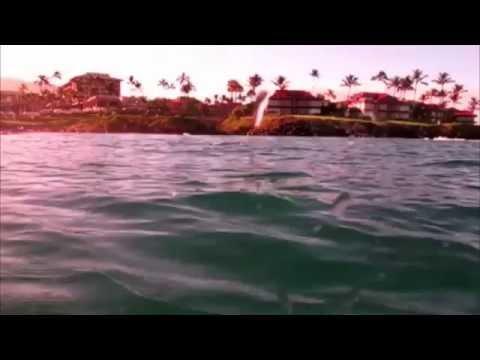 Hawaiian Monk Seal Eats Moray Eel