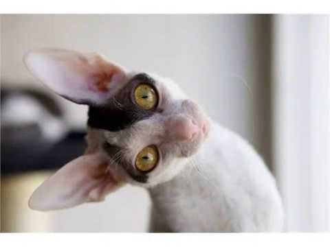 Cornish Rex domestic cat large expressive ears cats
