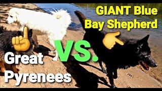 Great Pyrenees VS. GIANT SIZE Blue Bay Shepherd  A Size Comparison