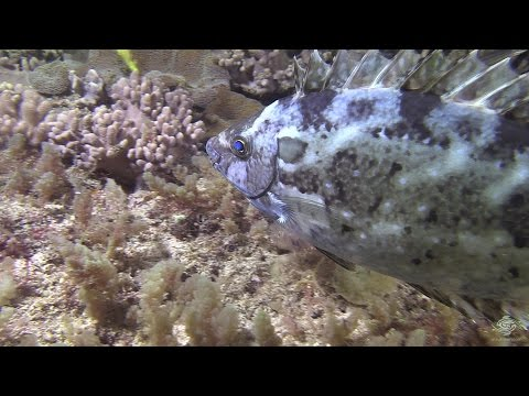 Watch The Speed At Which This Rabbitfish Changes Color