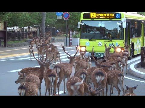 A herd of deer crossing intersection at Nara Park  奈良公園  鹿の群れが横断歩道を渡る